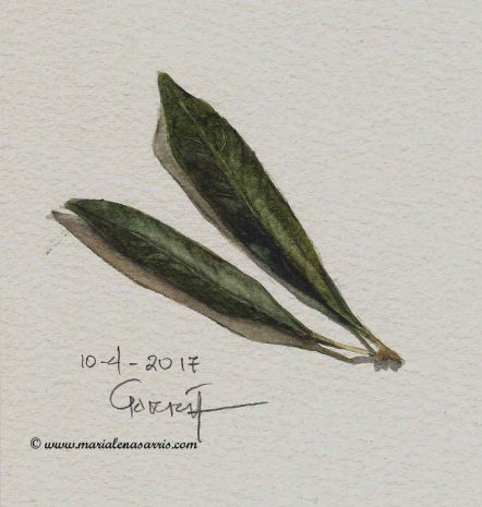 Olive leaves- Watercolour Botanical Sketch- Artist Marialena Sarris- © 10-4-2017