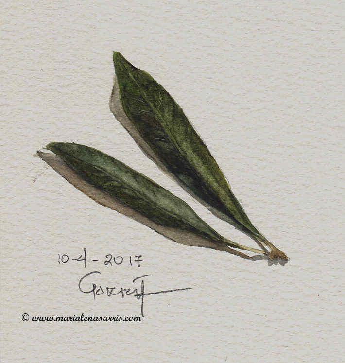 Olive leaves- Watercolour Botanical Sketch- Artist Marialena Sarris- © 10-4-2017