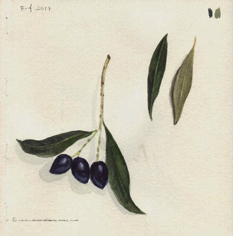 Olives and Olive leafs- Watercolour Botanical Sketch- Artist Marialena Sarris- © 8-4-2017