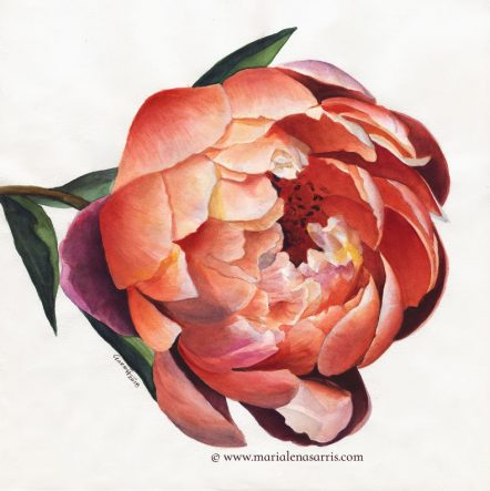 Peony Flower Portrait- Watercolour 40x40cm- Price 400 euros