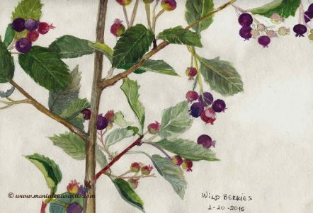 Wild Berries, Watercolour Botanical Sketch- Artist Marialena Sarris- © 1-10-2015