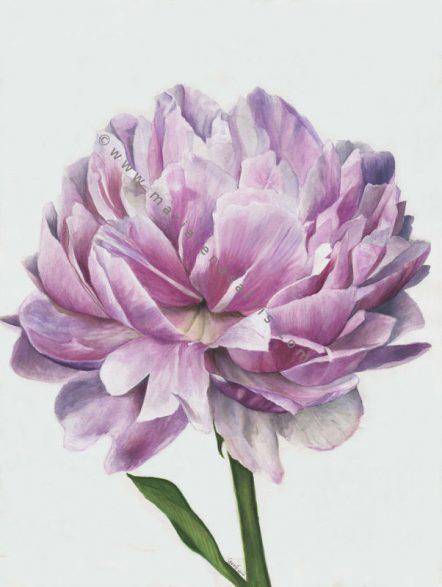 Peony Flower- Watercolour Botanical Illustration- Artist Marialena Sarris-© .14-7-2017.