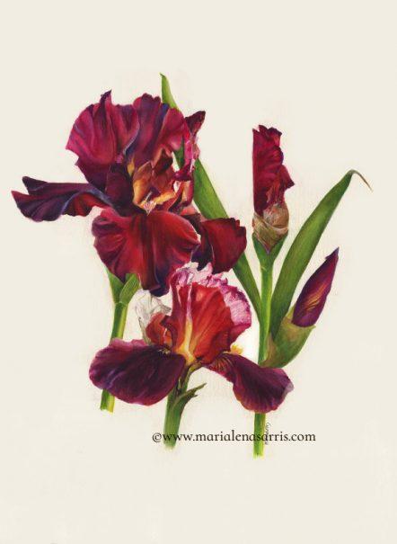 Red Passion -Red Irises Botanical Illustration Painting- © Artist Marialena Sarris .2019