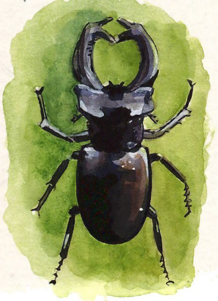 Male Beetle Sketch- Marialena Sarris
