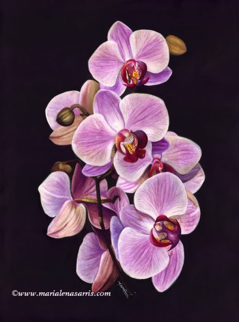 Pink Orchid- Marialena Sarris- Watercolor Botanical Illustration