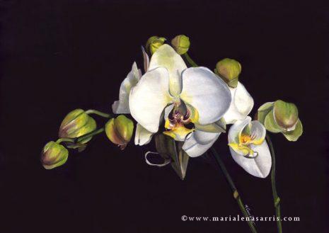 Orchid- Marialena Sarris