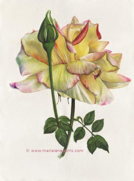 Yellow Rose Botanical-56x76cm